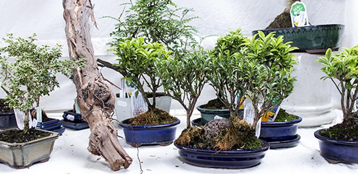 Bonsaiausstellung 1